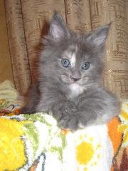 Котята мейн-кун! Беларусь