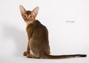 абиссинские котята окраса дикий и соррель