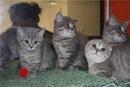 Котята, породы скоттиш-страйт