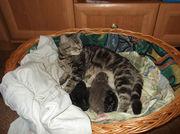 Британские котята короткошерстные