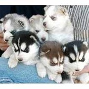 Сибирский хаски щенки для принятия продажи