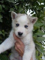 Сибирский хаски щенки самец и самки нужен новый дом